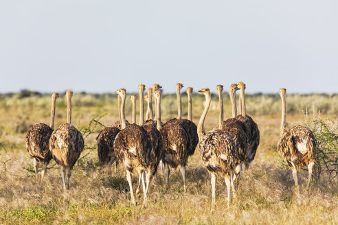 Namibia, Etosha National Park, African ostriches, Struthio camelus, young animals - FOF10004