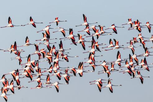 Namibia, Etosha National Park, Greater Flamingo (Phoenicopterus ruber, flying flock of birds - FOF10007