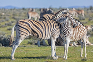 Africa, Namibia, Etosha National Park, burchell's zebras, Equus quagga burchelli, mother and young animal - FOF10013
