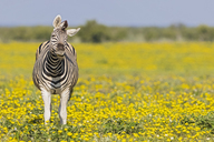 Africa, Namibia, Etosha National Park, burchell's zebras, Equus quagga burchelli, standing on yellow flower meadow - FOF10025