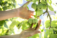 Man examining green apples on apple tree - JESF00025