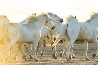 Medium group of white horses running across land at sunset. - MINF06569