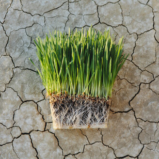 Black Rock Desert in Nevada. Arid cracked crusty surface of the salt flat playa. Wheatgrass plants with a dense network of roots in shallow soil with bright fresh green leaves and stalks. - MINF06747