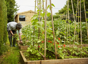 A man working in his garden, weeding raised beds. Garden shed. - MINF07391