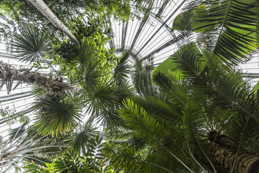 Denmark, Copenhagen, Palms at Botanical Garden, worm's eye view - NG00483