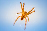 Cross spider, Araneus, underside, blue background - FRF00705
