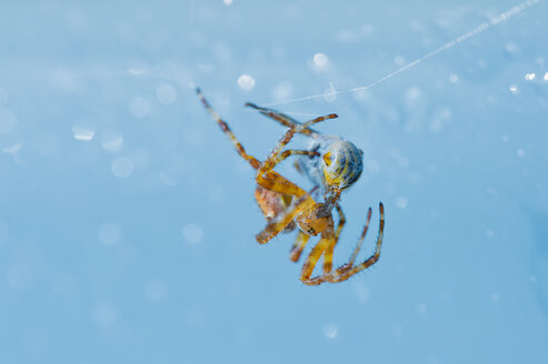 Cross spider with prey - FRF00708