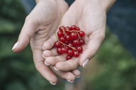 Young woman harvesting red currants - KNTF01216