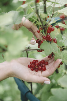 Young woman harvesting red currants - KNTF01219