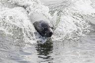 Namibia, Walvis Bay, portrait of swimming cape fur seal - FOF10049