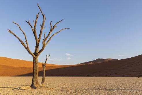 Africa, Namibia, Namib-Naukluft National Park, Deadvlei, dead acacia tree in clay pan - FOF10062