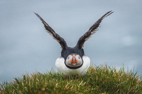 Iceland, Latrabjarg, puffin, Fratercula arctica - KEBF00853