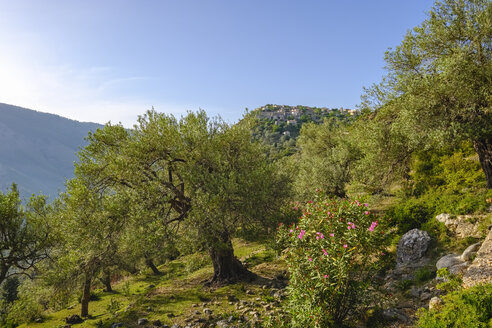 Albania, Vlore County, Olive grove near Himara, mountain village Qeparo - SIEF07889