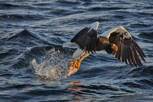 Steller's Sea Eagle, Haliaeetus pelagicus, hunting above water in winter. - MINF08715