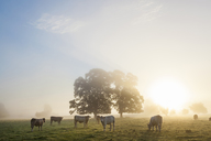 Sunrise over misty landscape with two trees, herd of cows grazing underneath. - MINF08760