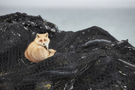 Ezo red fox, Vulpes vulpes schrencki, on heap of fishing nets in winter. - MINF08769