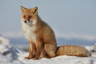Ezo red fox, Vulpes vulpes schrencki, in winter. - MINF08772
