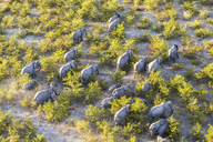 Aerial view of herd of African Elephants walking through the bush in lush delta. - MINF08847