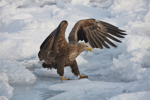 White-Tailed Eagle, Haliaeetus albicilla, hunting on frozen bay in winter. - MINF08874