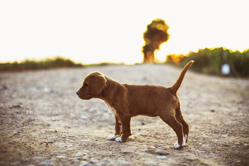 Brown puppy standing on a path  during sunset - ACPF00239