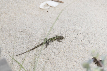 Portugal, Viana do Castelo, Bocage's wall lizard on the beach - CHPF00504