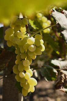 Green grapes on vine stock - BZF00452