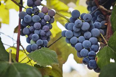 Blue grapes on vine stock - BZF00455