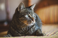 Portrait of tabby cat at home - RAEF02115