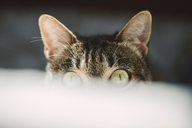 Portrait of peeking cat with green eyes - RAEF02118