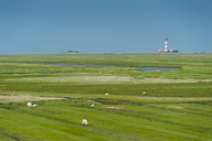Germany, Schleswig-Holstein, sheep on salt marsh with Westerheversand Lighthouse in background - UMF00857