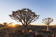 Africa, Namibia, Keetmanshoop, Quiver Tree Forest at sunrise - FOF10135