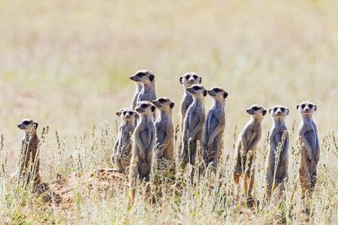 Botswana, Kgalagadi Transfrontier Park, Kalahari, Meerkats, Suricata suricatta - FOF10146