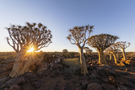 Africa, Namibia, Keetmanshoop, Quiver Tree Forest at sunset - FOF10161