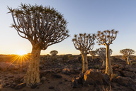 Africa, Namibia, Keetmanshoop, Quiver Tree Forest at sunset - FOF10167