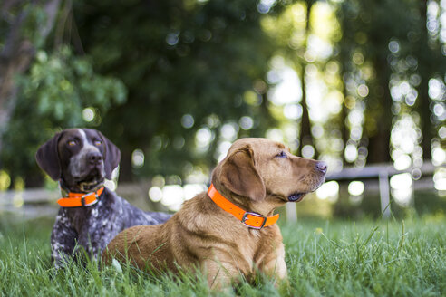 Two dogs relaxing in the summer grass - AURF01758