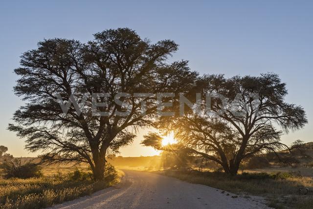 Botswana, Kgalagadi Transfrontier Park, Kalahari, gravel road and camelthorns at sunrise - FOF10188 - Fotofeeling/Westend61