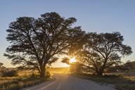 Botswana, Kgalagadi Transfrontier Park, Kalahari, gravel road and camelthorns at sunrise - FOF10188