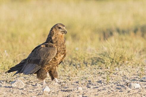 Botswana, Kgalagadi Transfrontier National Park, Mabuasehube Game Reserve, Bataleur eagle, young animal, Terathopius ecaudatus - FOF10214
