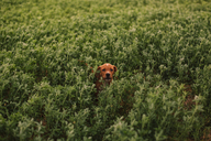 Puppy among grass in the field - ACPF00289