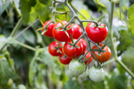 Organic tomato plant, red and green tomatoes - NDF00789