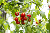 Organic tomato plant, red and green tomatoes - NDF00792