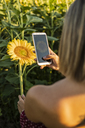 Close-up of woman in a field taking a picture of a sunflower with her smartphone - ACPF00302