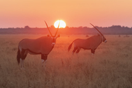 Botswana, Kalahari, Central Kalahari Game Reserve, Greater Kudus at sunrise, Tragelaphus strepsiceros - FOF10247