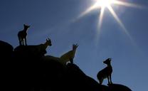 Spanish Ibex, Capra Pyrenaica, at Sierra de Gredos, Cvila Province, Spain. - AURF02389