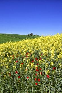 Colza field in Guadalajara. Flowers in spring. Castilla la Mancha. Spain - AURF02451