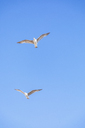 Flying seagulls, blue sky - MMAF00517