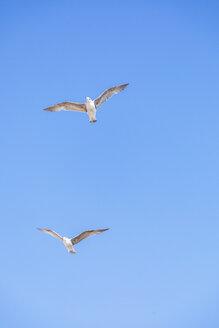 Flying seagulls, blue sky - MMAF00517