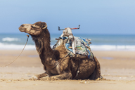 Morocco, camel lying at the beach - MMAF00532