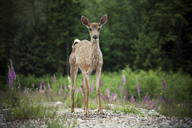 Baby Black-tailed Deer stands in a clearing. - AURF02971