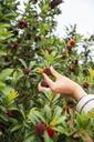 Young man harvesting waxberries - KKAF01548